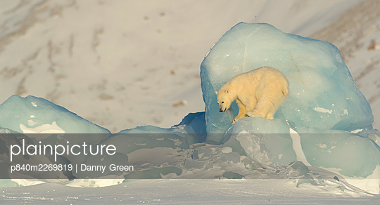 Polar bear (Ursus maritimus) cub ready to jump down from pack ice. Svalbard, Norway, April. - p840m2269819 by Danny Green