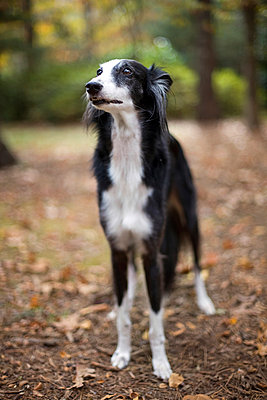 Saluki dog - p1152m966133 by Susan Fox