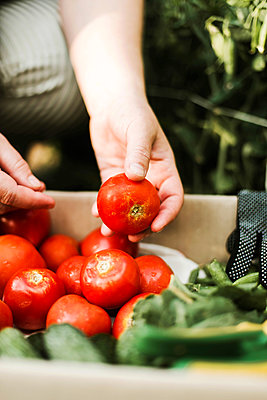 Woman holding red tomatoes  in garden - p1166m2234978 by Cavan Images