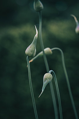 Buds of a wild plant, close-up - p1681m2283648 by Juan Alfonso Solis