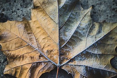 Close-up of Frosty Leaf - p694m1221866 by Eric Schwortz