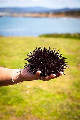 Sea urchin - p756m1042830 by Bénédicte Lassalle