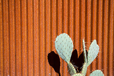 A large green cactus standing in front of a weathered red rusty fence  - p1057m1466780 by Stephen Shepherd