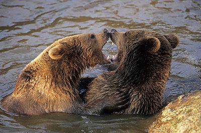 Kämpfende Bären - p330m660882 von Harald Braun