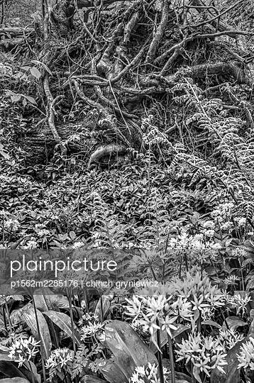 Flowering wild garlic in front of fallen ash tree - p1562m2285176 by chinch gryniewicz