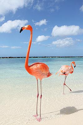 Flamingos at Aruba - p045m912535 by Jasmin Sander