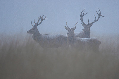 Three Red Deer stags (Cervus elaphus) in thick fog and falling snow - p1144m944169 by Marcel Bruin, de