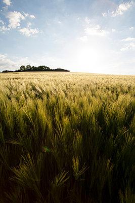 Sommerliches Getreidefeld icht - p946m859525 von Maren Becker