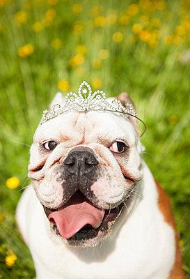 Englische Bulldoge mit Diadem - p045m1154785 von Jasmin Sander