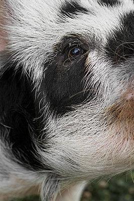 Neugieriges Schwein - p1097m918564 von Mélanie Bahuon