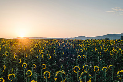 Sonnenblumenfeld - p1326m1165869 von kemai