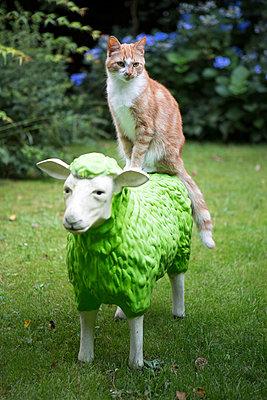Katze sitzt auf einem Schaf - p1221m1481744 von Frank Lothar Lange