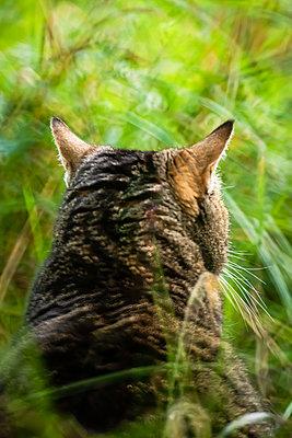 Cat in grass - p1418m2116648 by Jan Håkan Dahlström