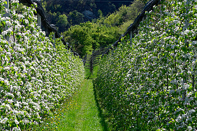 Italy, South Tyrol, blossoming apple trees near Altenburg - p300m965187f by Lisa und Wilfried Bahnmüller