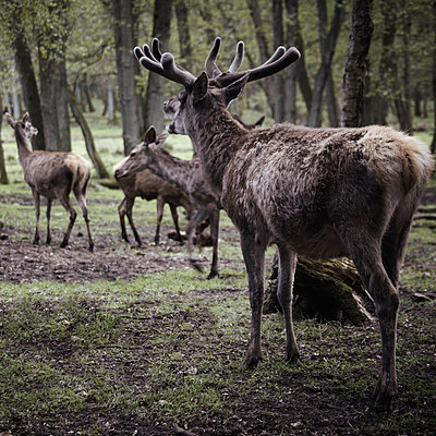 Germany, Hamburg, Group of deers in wildlife park - p300m981471f by Tanja Luther