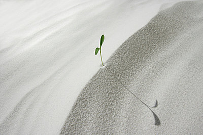 Seedling on sand, close up, copy space - p5143274f by KOJI KITAGAWA