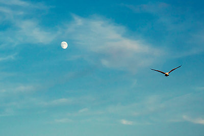 Single seagull in the sky - p879m2044715 by nico