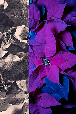 Poinsettias  - p919m2230931 by Beowulf Sheehan
