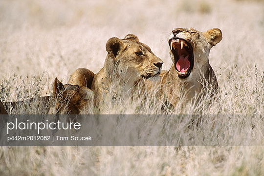 Three Lions Sitting In Grass Africa - p442m2012082 by Tom Soucek