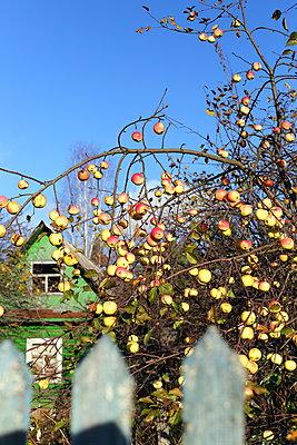 Apple tree  - p1063m2045326 by Ekaterina Vasilyeva