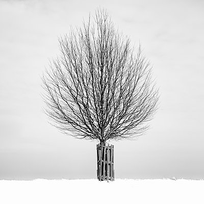 Tree in snowy landscape - p1256m2099742 by Sandra Jordan