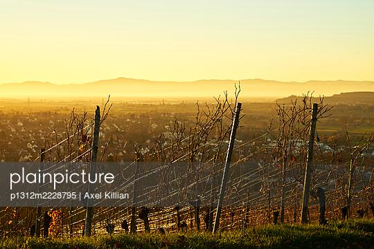 Germany, Vineyard at sunset - p1312m2228795 by Axel Killian
