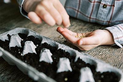 Five year old boy starting jalapeño seedlings. - p1166m2171526 by Cavan Images