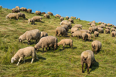 Germany, Lower Saxony, Flock of sheep on a dyke in the Altes Land - p229m2285023 by Martin Langer
