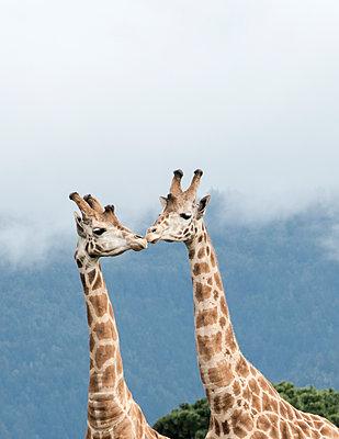 Giraffes in California - p343m1167910 by Svetlana Bahchevanova