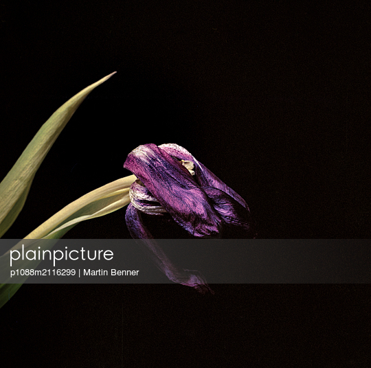 Lilac flower - p1088m2116299 by Martin Benner