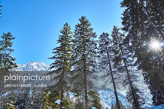 Nadelbäume in verschneiter Berglandschaft - p851m1148600 von Lohfink
