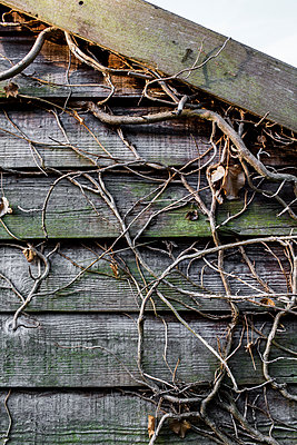 Weathered shed with dead ivy - p1057m1491787 by Stephen Shepherd