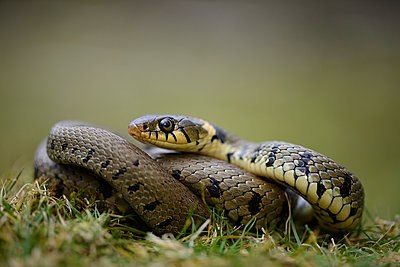 Portrait of grass snake - p300m1023093f by Mark Johnson