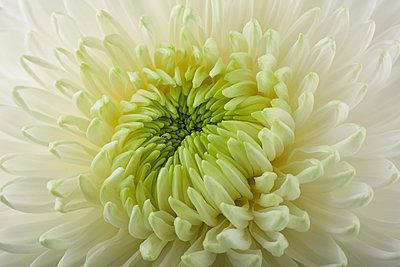 Chrysanthemum, close-up - p300m1205076 by Mark Johnson
