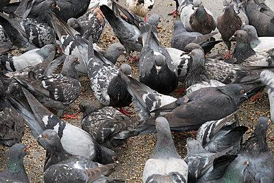 Tauben füttern - p347m1138350 von Georg Kühn
