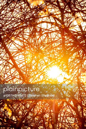 Wild bramble bushes at sunset - p1057m2149472 by Stephen Shepherd
