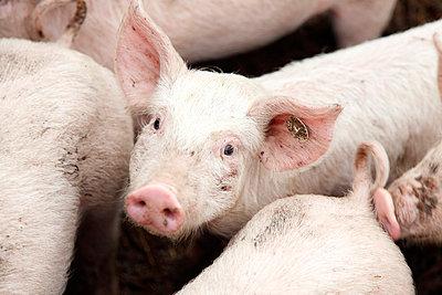 Schweineportrait - p249m739859 von Ute Mans