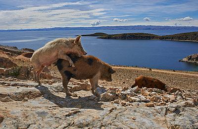 Schweine paaren sich - p390m1190321 von Frank Herfort