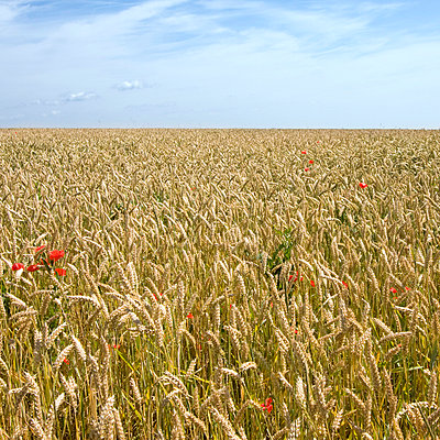 Wheat field - p6470002 by Tine Butter