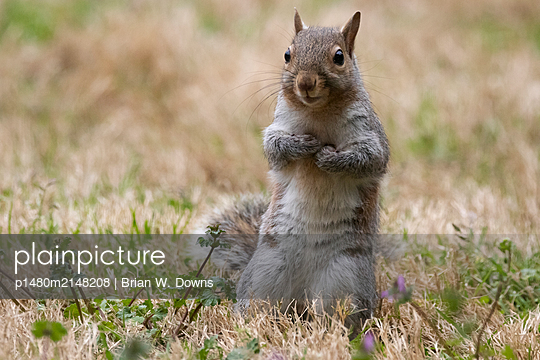 Portrait of a gray squirrel in grass - p1480m2148208 by Brian W. Downs