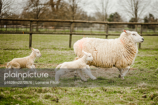 Newborn lambs with their sheep mums - p1628m2272576 by Lorraine Fitch