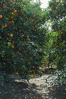 Orange grove - p1134m1440772 by Pia Grimbühler