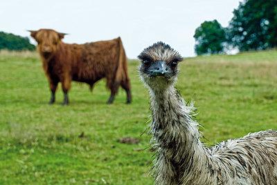 Emu und Hochlandrind - p1164m951949 von Uwe Schinkel