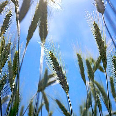 Ears of barley - p8130416 by B.Jaubert