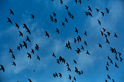 Flock of doves (Columbidae) flying in front of cloudy sky, view from below - p300m911393f by Nadine Ginzel