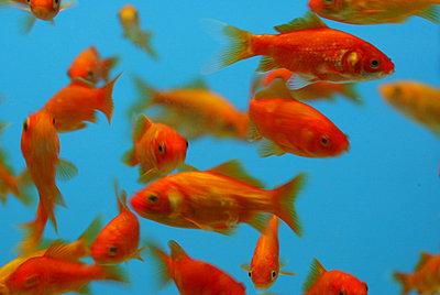 Orange fishes swimming in the water - p3486014 by Arnaldur Halldorsson