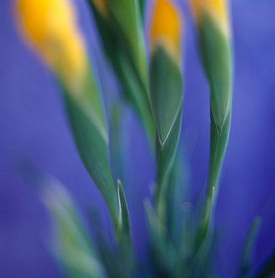 Yellow iris - p4950153 by Jeanene Scott