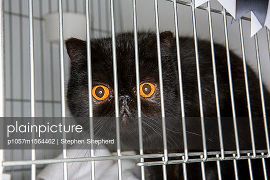 Katze im Käfig auf einer Katzenshow - p1057m1564462 von Stephen Shepherd