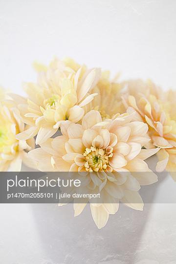 Chrysanthemums in flower pot - p1470m2055101 by julie davenport