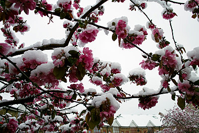 Snow covered cherry blossom - p3882180 by Andre
